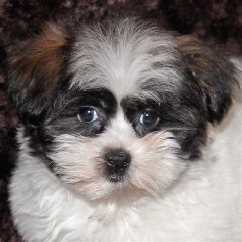 shih poo puppies shih poo puppy for sale in boca raton south florida