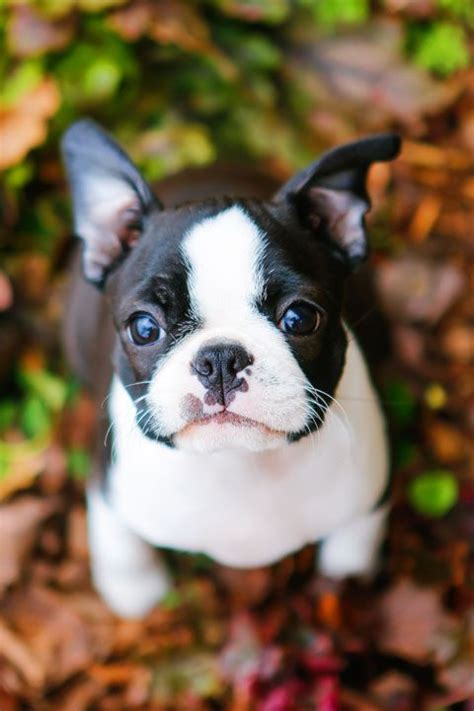 boston terrier puppies maine 25 best ideas about boston terrier puppies on baby boston terriers
