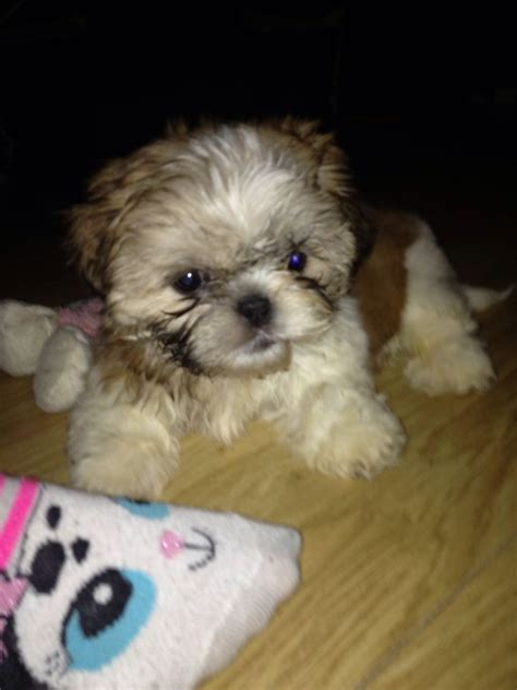 shih tzu puppies for sale in ca shih tzu puppies for sale torpoint cornwall pets4homes