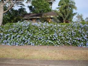 Top Landscaping Companies by Plantfiles Pictures Plumbago Cape Leadwort Royal Cape