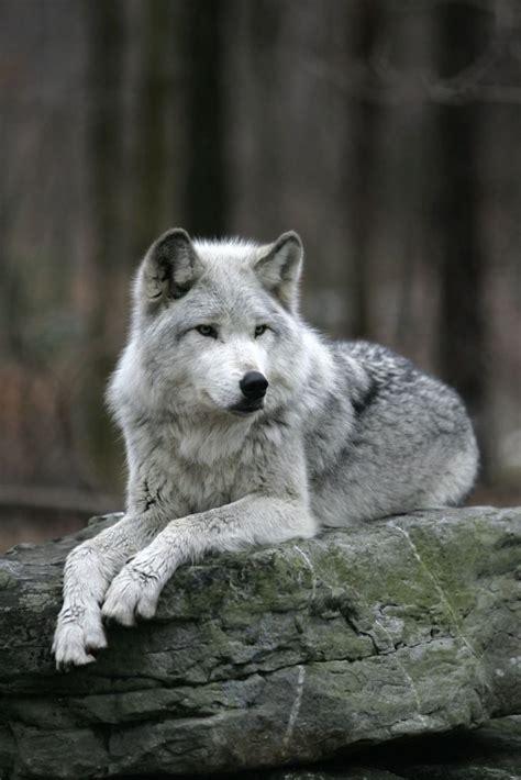beautiful grey wolf www pixshark com images galleries