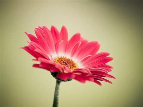 imagenes flores gerberas fondo de pantalla gerbera hd fondos de pantalla gratis