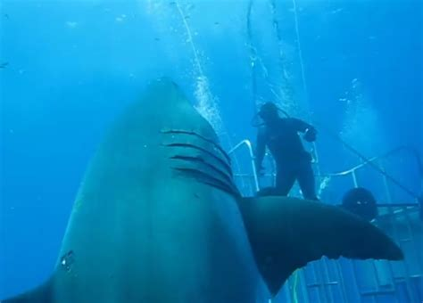 what is the largest great white shark ever recorded primer largest great white shark ever www imgkid com the