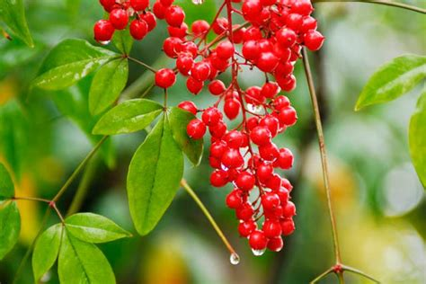 great shrubs with berries for winter interest for new england