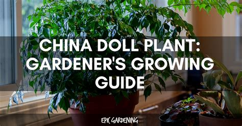 care of china doll plant china doll plant radermachera sinica growing guide