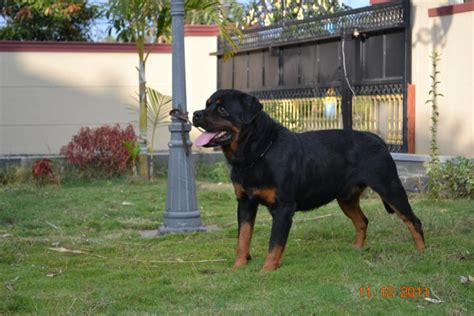 rottweiler price in kolkata rottweiler puppies for sale saji 1 13084 dogs for sale price of puppies dogspot in