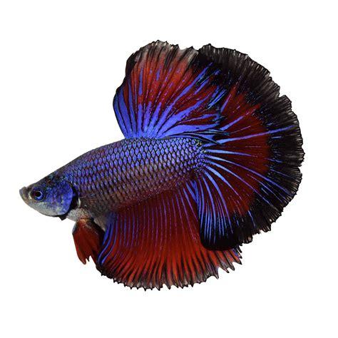 Betta Gold Size S halfmoon betta fish siamese fighting fish