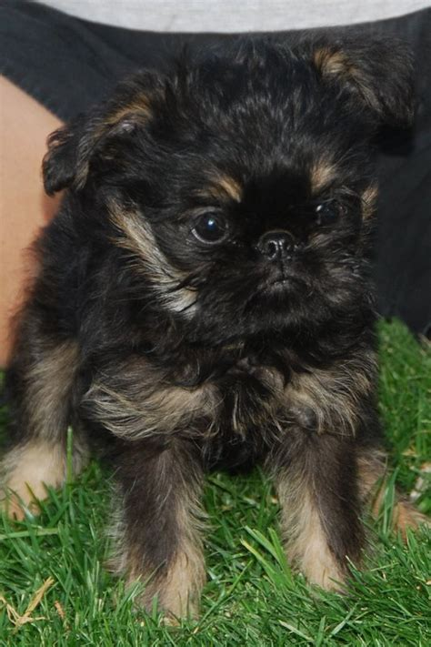 brussels griffon puppy belgian griffon puppies images