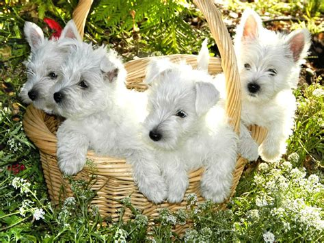 puppies for sale idaho west highland puppies for sale in nj rachael edwards