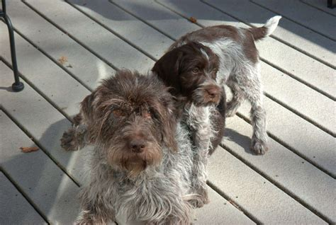 drahthaar puppies for sale wirehaired pointing griffon for sale breeds picture