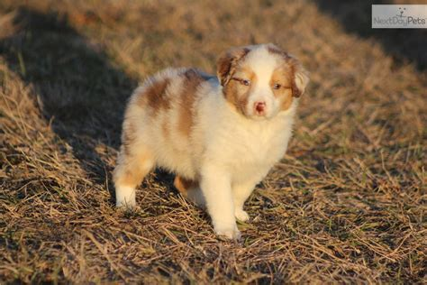 australian shepherd puppies in michigan australian shepherd for sale for 475 near grand rapids michigan 8c0386bd c481