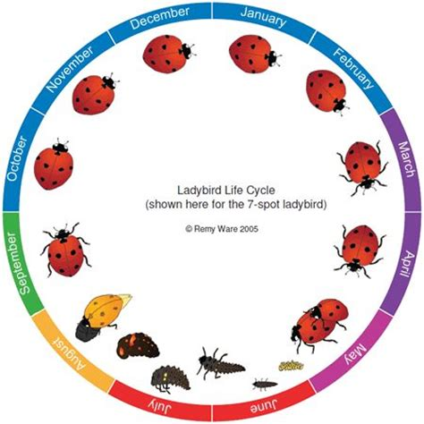 ladybug diagram beneficial ladybug lifecycle diagram garden pests