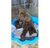FOR SALE Chocolate Purebred Labrador Puppies
