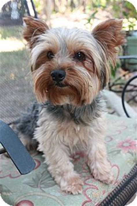 purebred yorkie rescue best 20 terrier rescue ideas on yorkie yorkie puppies and