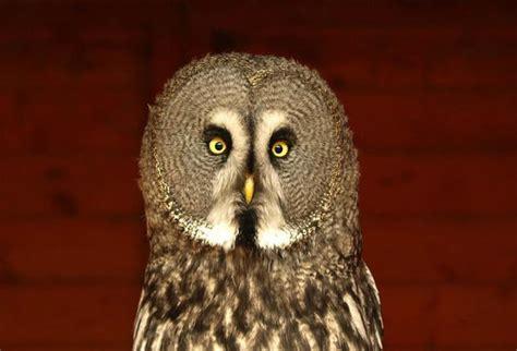 Kupluk Binatang Owl Acg100 3 alam mengembang jadi guru burung hantu guwek