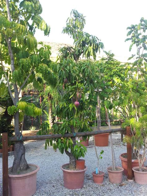 pianta di mango in vaso mango in vaso fruttama it coltivazione delle piante e