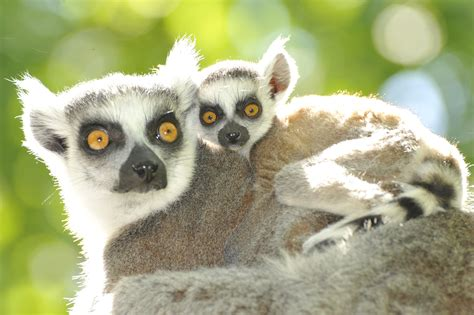 baby lemur lemur babies of older moms less likely to get hurt