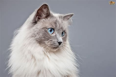 breeds with blue blue eyed cat breeds www pixshark images galleries with a bite