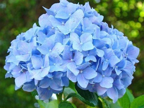 fiori ortensie ortensie coltivazione piante da giardino