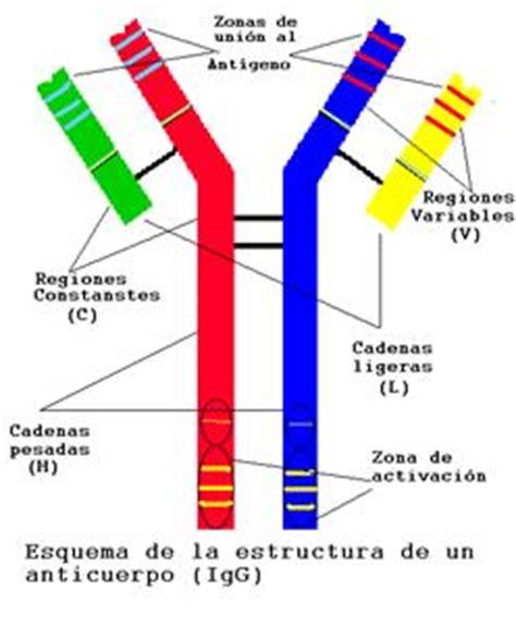 enfermedad de cadenas ligeras y pesadas funciones de las prote 237 nas monografias