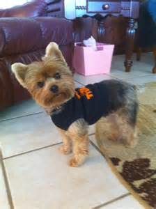 pics of yorkie summer cuts 17 best images about yorkies on pinterest yorkshire