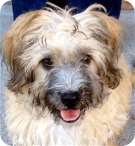 wheaten terrier shih tzu mix theodore adopted puppy a1428248 los angeles