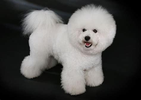perros peque os de pelo corto razas razas de perros peque 209 os que no sueltan pelo fotos y videos