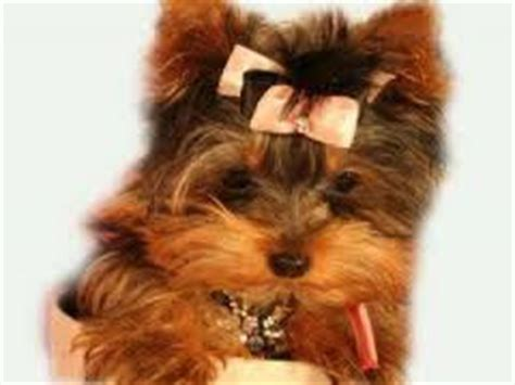teacup yorkie allergies i terrier puppies how to potty a teacup yorkie
