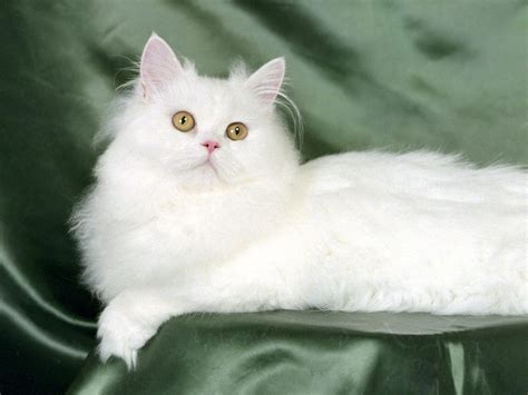 White Cat cat wallpapers animals wiki