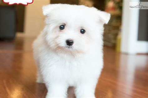 maltipom puppies malti pom maltipom puppy for sale near washington dc 9c3d5696 0bf1