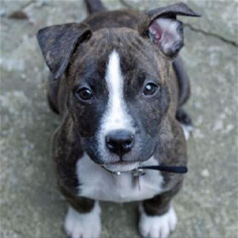 boston terrier pitbull mix puppies pitbull boston terrier mix my boys boys and babies