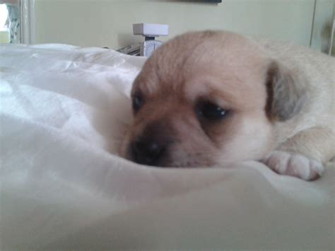 pug cross chihuahua puppies for sale australia chihuahua cross breeds picture