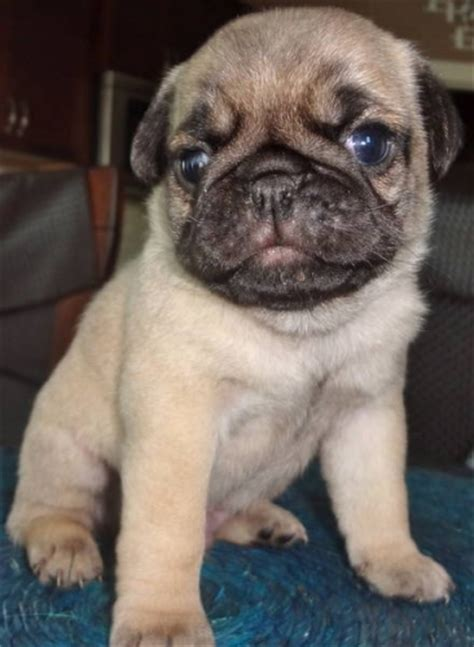 pug puppies for sale edmonton ckc registered pug puppies now taking deposits for sale in edmonton alberta