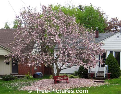 types of magnolia tree with pictures facts about