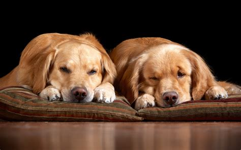 in the comfort of my home fondo de pantalla home comfort dogs hd