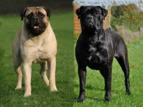 bullmastiff colors black bull mastiff newhairstylesformen2014