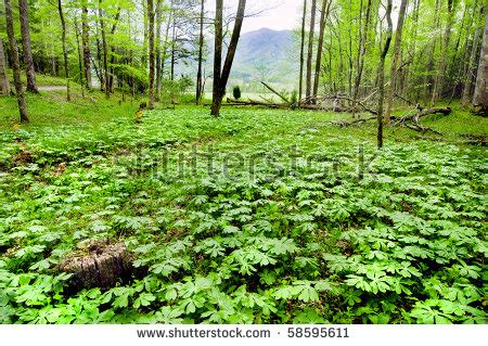 large stand of mayapple plants in their native habitat
