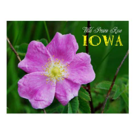 state flower of iowa iowa postcards zazzle
