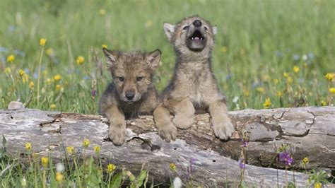 facts about coyote cubs apexwallpapers com meet the animals