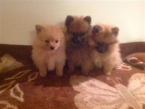 adorable pomeranian puppies pomeranian puppies pinner middlesex pets4homes