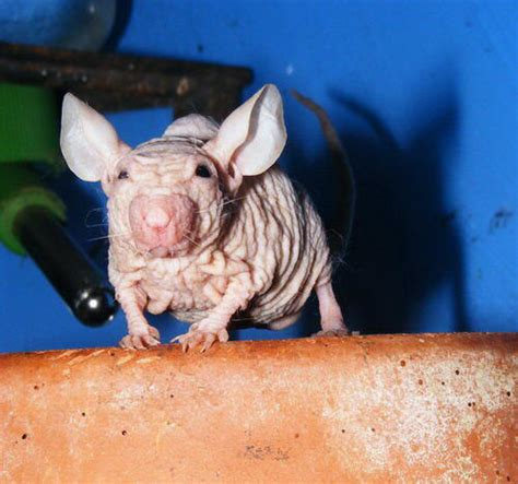 imagenes ratas asquerosas 301 moved permanently