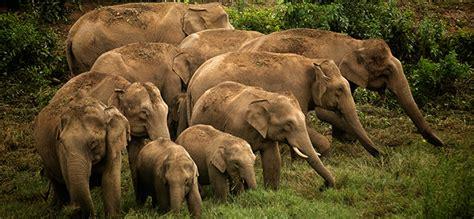 botanical name of elephant about asian elephants elephant family