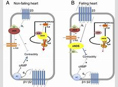 Alterations in β3-Adrenergic Cardiac Innervation and ... G Protein Coupled Receptors Pathway