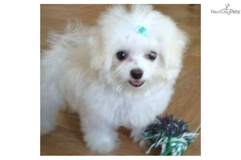 maltese puppies for sale dallas maltese puppies for sale free maltese puppies in breeds picture