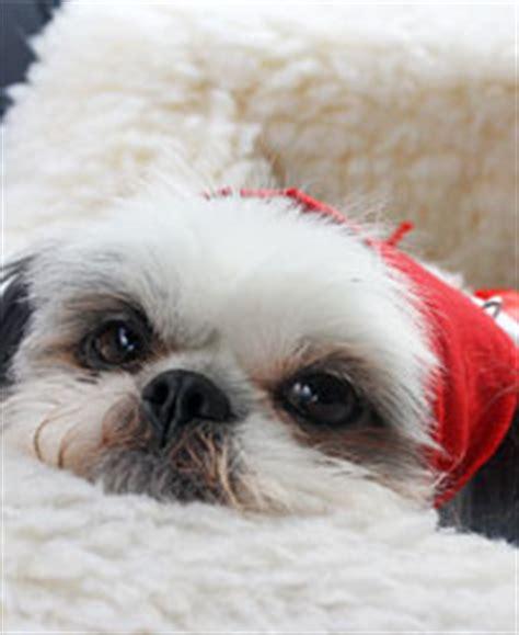 shih tzu puppy biting housebreak your shih tzu in just 7 days best shih tzu
