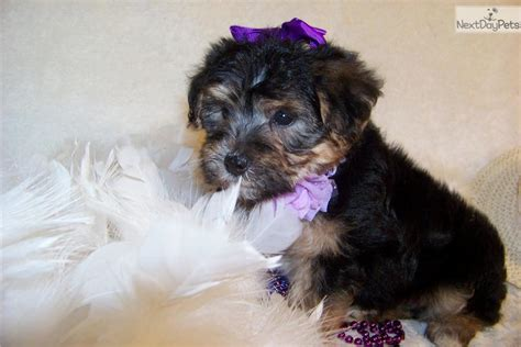 yorkie poo puppies for sale in south carolina yorkie poo puppies black and gold yorkie poo breeds picture