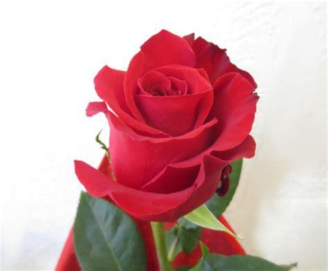 fiori stelo lungo rosa singola consegna a domicilio di fiori e piante a
