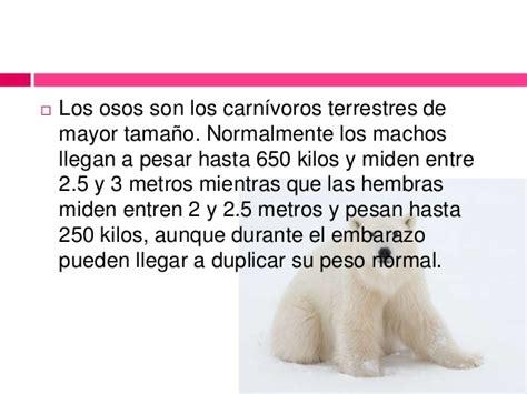 machos adultos pueden llegar hasta los 7 metros de largo y poseer mas oso polar