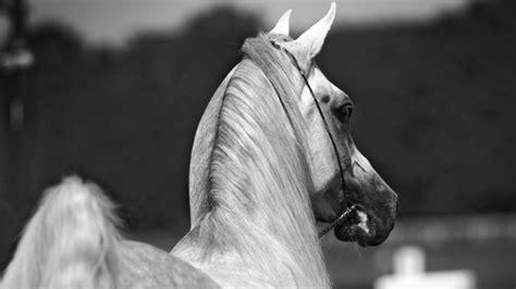 imagenes en blanco y negro de caballos fondo de caballos en blanco y negro 1920x1080 fondos