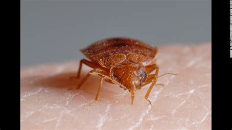 do bed bugs feed every night bedbug pictures bites signs and symptoms
